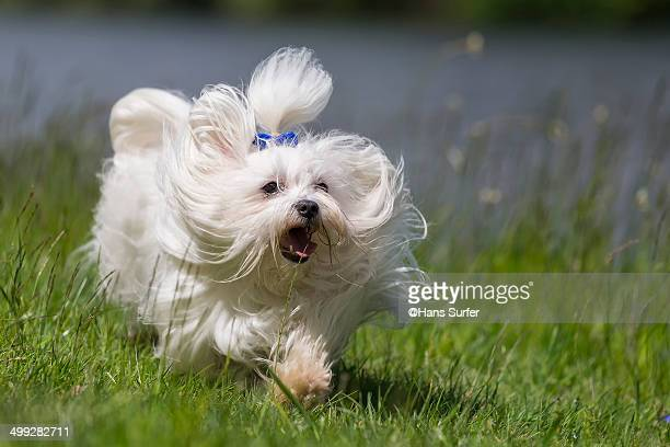 A Running Maltese Dog!