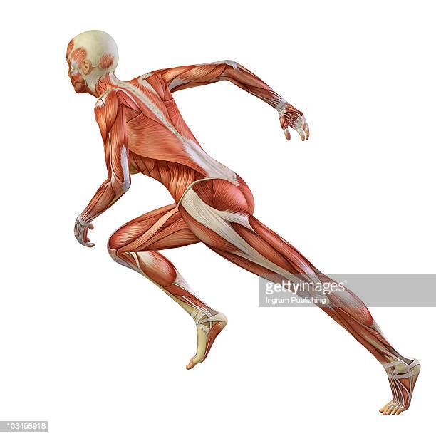 running man - anatomy stock pictures, royalty-free photos & images