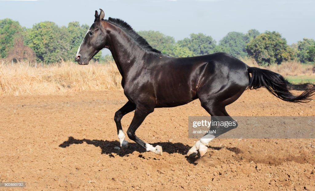 running marwari black stallion at freedom. India : Stock Photo