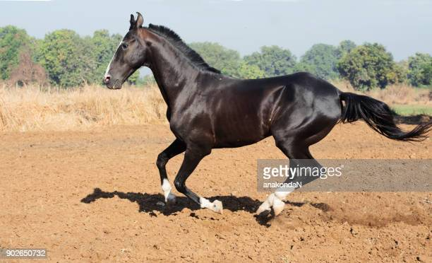 running marwari black stallion at freedom. india - thoroughbred horse - fotografias e filmes do acervo