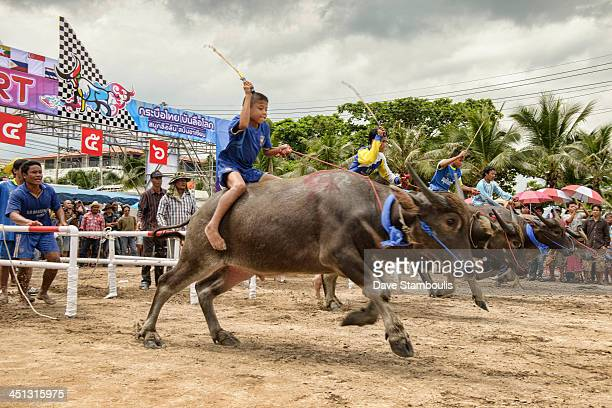 CONTENT] Running of the bulls Water buffaloes race out of the gate at the Chonburi Buffalo Racing Festival Thailand