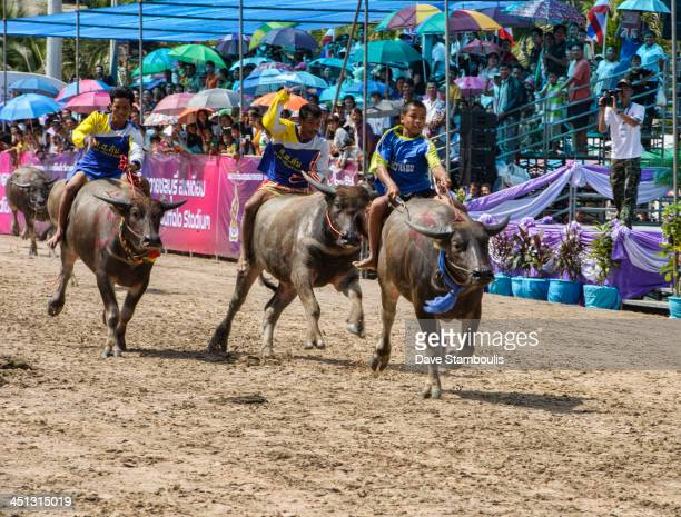 CONTENT] Running of the bulls Water buffaloes racing with their jockeys at the Chonburi Buffalo Racing Festival Thailand