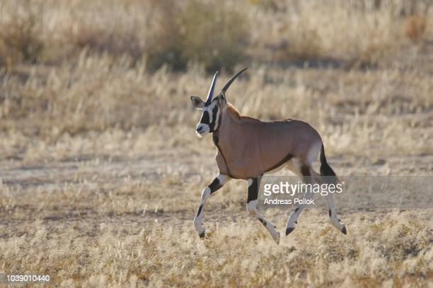running oryx antelope (oryx), south africa - vista lateral stock pictures, royalty-free photos & images
