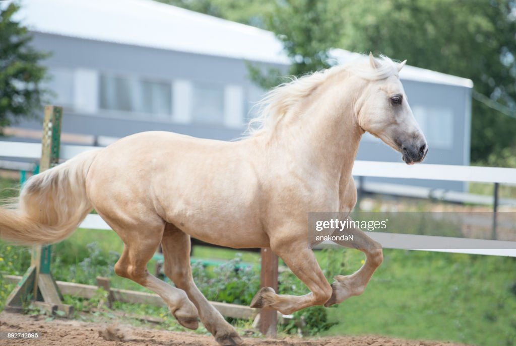 running palomino welsh pony in manege ストックフォト getty images