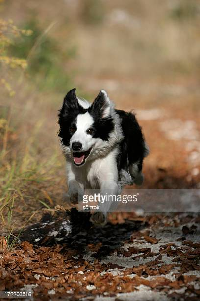 running - collie stock photos and pictures