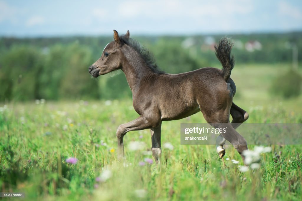 running pony foal in the meadow ストックフォト getty images