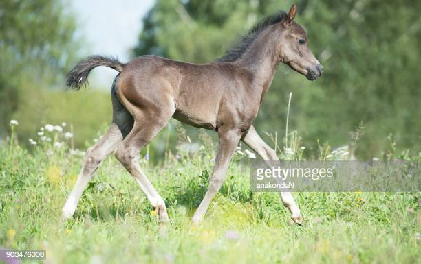 running pony foal in the meadow