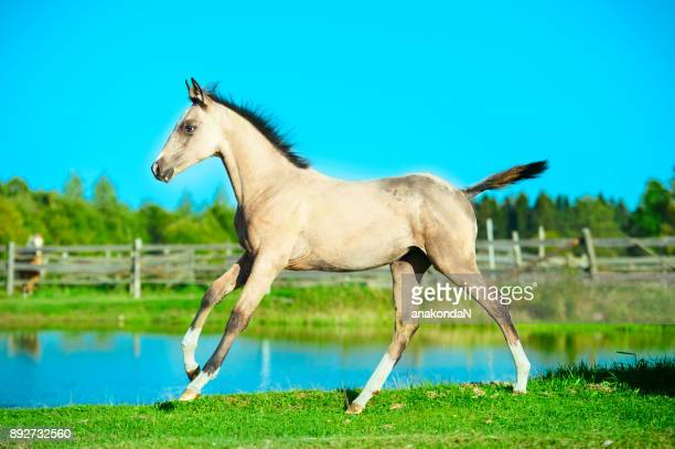 running purebred akhal-teke foal at lake background