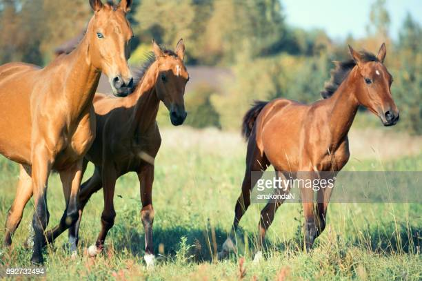 running purebred akhateke foals with dam in meadow