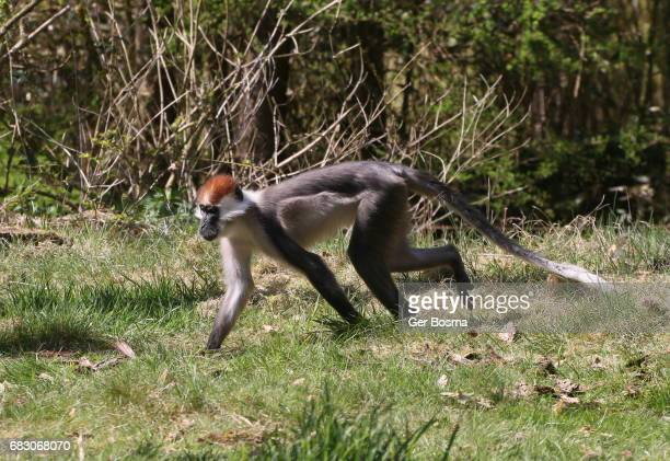 Running Red Capped Mangabey