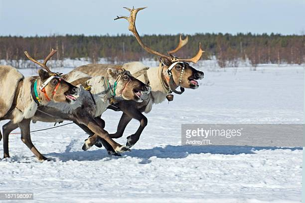 running reindeers - reindeer stock pictures, royalty-free photos & images