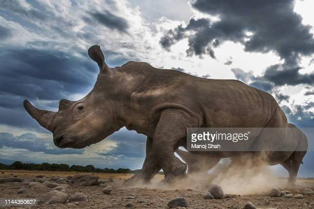 running rhinoceros in laikipia - africa stock pictures, royalty-free photos & images