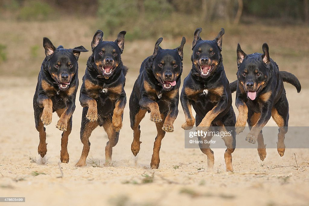 5 running Rottweilers on a row! : Stock Photo