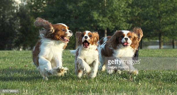 running spaniels. - cavalier king charles spaniel stock pictures, royalty-free photos & images