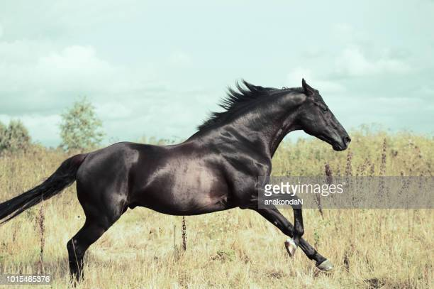running  sportive black stallion in  field - thoroughbred horse - fotografias e filmes do acervo