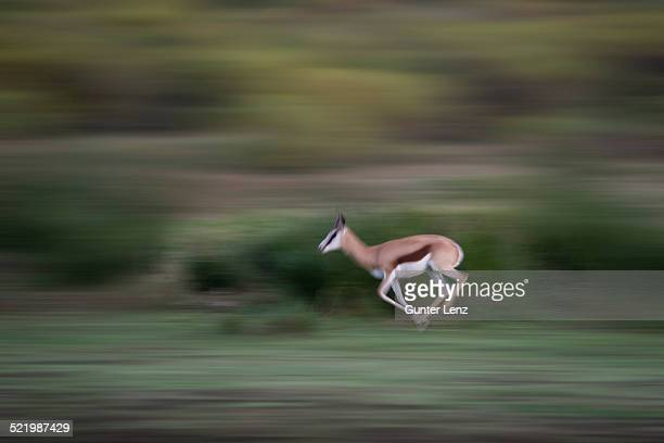 running springbok -antidorcas marsupialis-, little karoo, western cape, south africa - the karoo stock photos and pictures