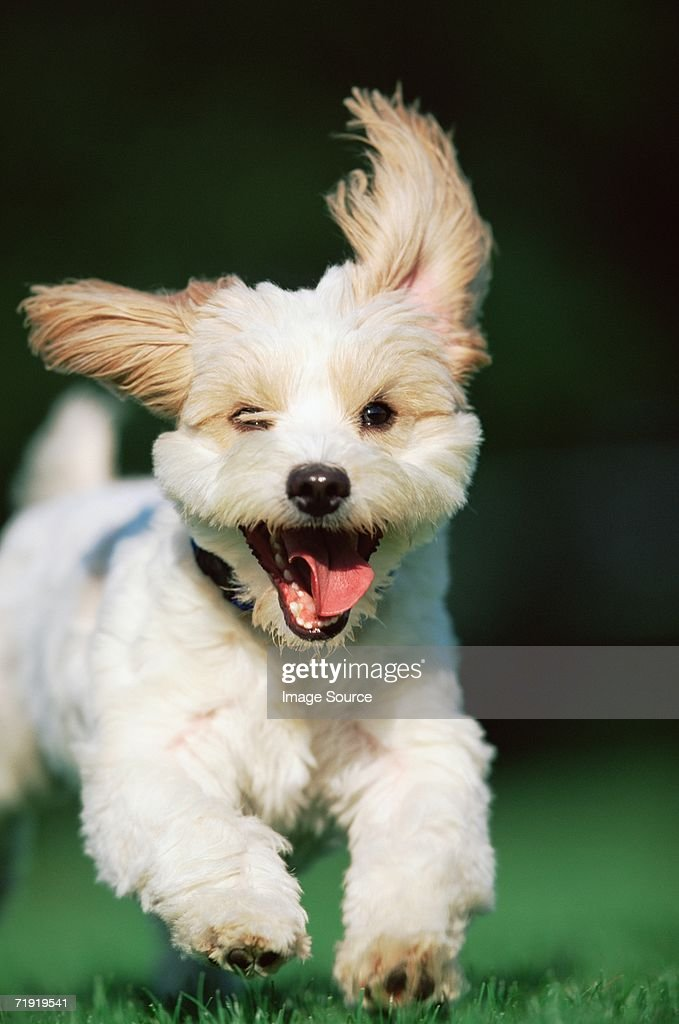 Running terrier