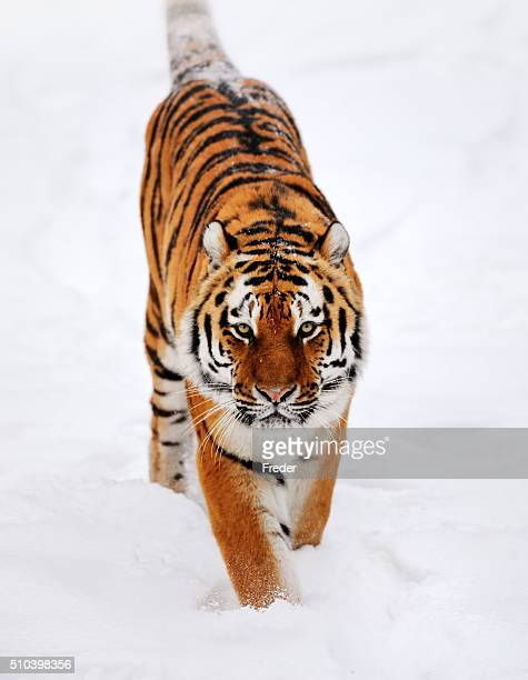running tiger in snow - siberian tiger stock pictures, royalty-free photos & images