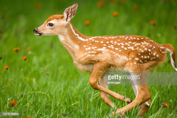 running very young whitetail deer with spots. - white tail deer stock photos and pictures
