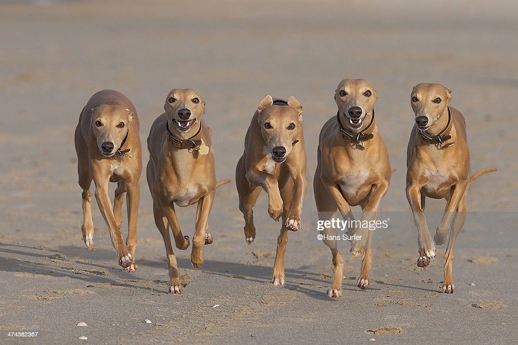 5 Running Whippets in a row! : Stock Photo