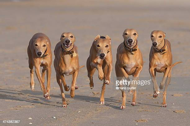 5 running whippets in a row! - whippet stock pictures, royalty-free photos & images