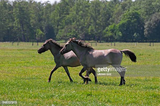 running wild horses Dülmen Ponies in nature reserve Merfelder Bruch