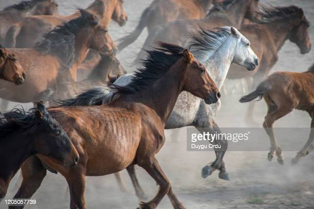 running wild horses - animals in the wild stock pictures, royalty-free photos & images