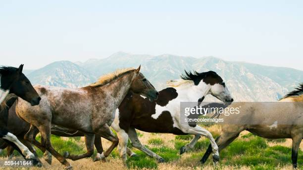 running wild horses - appaloosa stock pictures, royalty-free photos & images