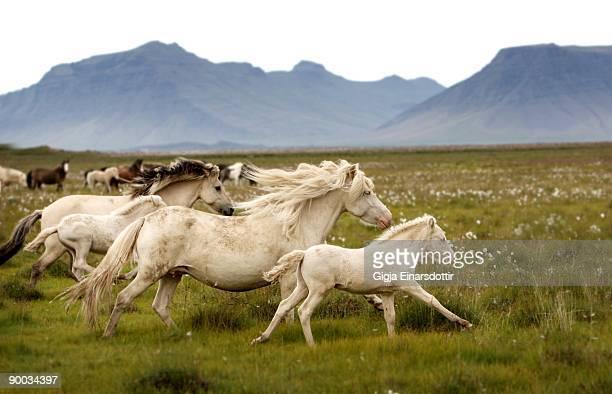 Running wild in Iceland