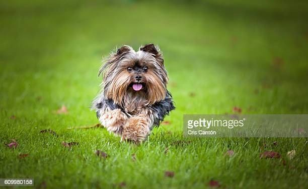 running yorkie - yorkshire terrier stock pictures, royalty-free photos & images