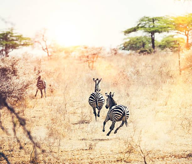 Running Zebras Wall Art
