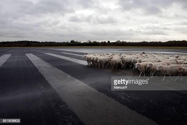 runway sheep
