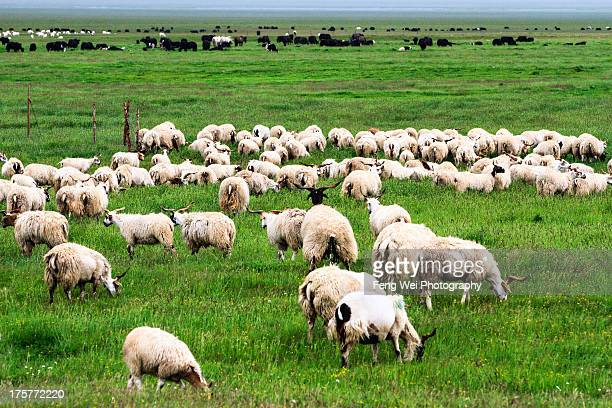 ruoergai grassland, sichuan china - yak stock pictures, royalty-free photos & images
