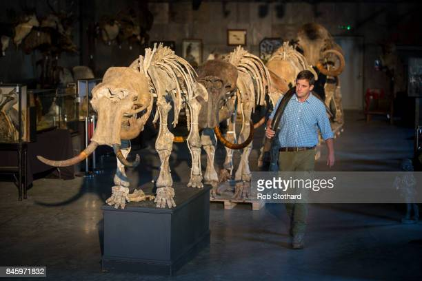 Rupert van der Werff Summer Place Auctions' Natural History specialist carries a tusk past a family of mammoths at Summers Place Auctions on...