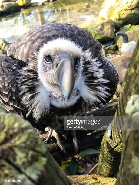 ruppell's griffon vulture - perching stock pictures, royalty-free photos & images