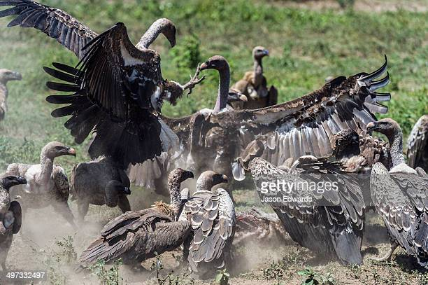Ruppell's vultures fight over a zebra foal carcass using their wings and talons during a feeding frenzy on the dusty savannah.
