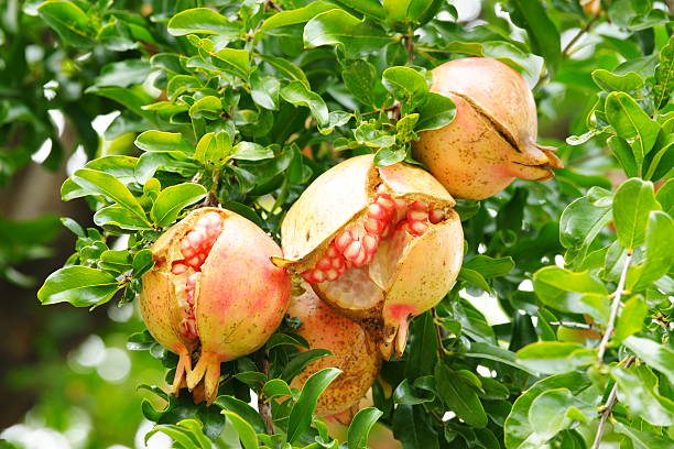 ruptured pomegrante - pomegranate tree stock photos and pictures