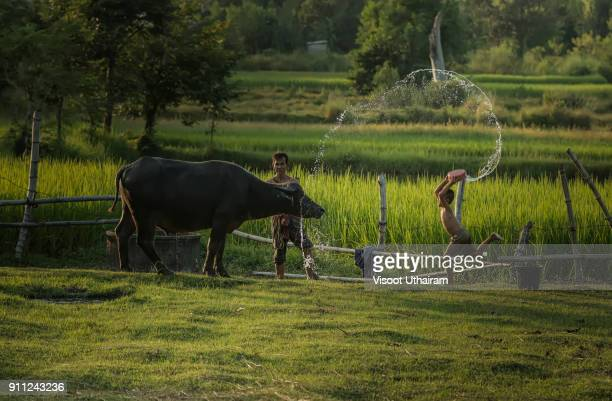 Rural children are bathing for buffaloes.