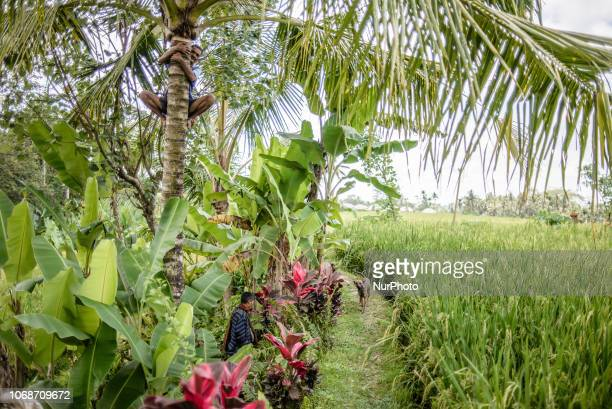 Rural daily life at the village near Ubud Ubud District Bali Indonesia in November 2018