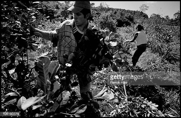 A rural family works on the harvest of yerba mate on July 2005 in Tamandua Argentina During a regular working day two people could manage to collect...