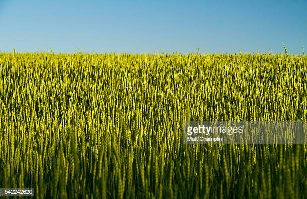Rural Farm Fields with lush green growing Wheat