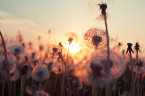 Rural field and dandelion at sunset - gettyimageskorea