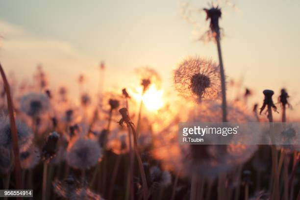 Rural field and dandelion at sunset