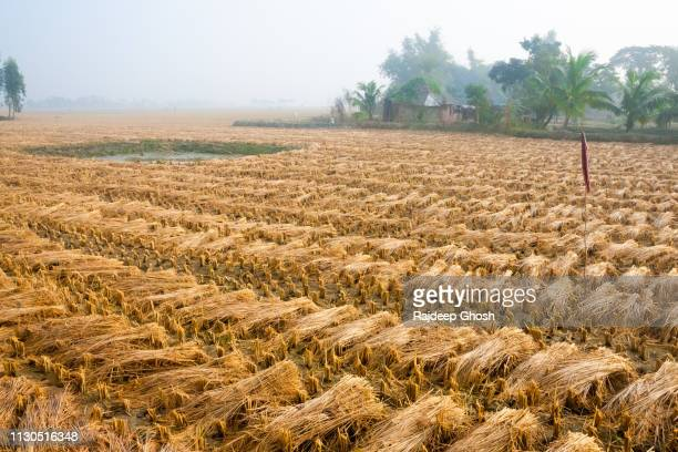 rural india paddy field - harvest festival stock pictures, royalty-free photos & images