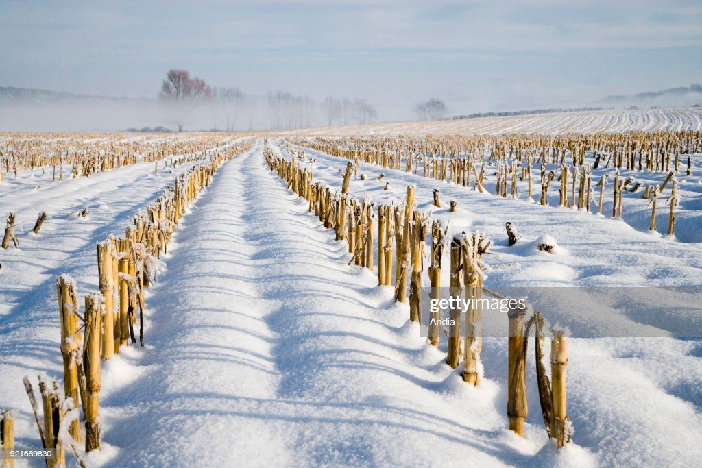 field with corn straws covered in snow.