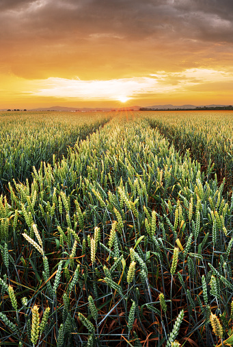 Rural landscape with wheat field on sunset 1043468618