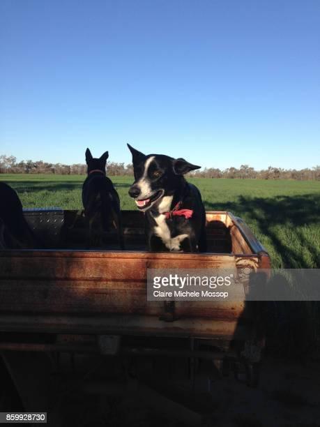 rural new south wales, australia - オーストラリアンケルピー ストックフォトと画像