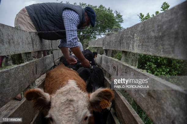 Rural producer Alejandro Rodriguez vaccinates a cow against foot-and-mouth disease in a field in Cerro Pelado, Lavalleja Department, 160 km northeast...