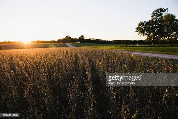 Rural road and soy bean fields at sunset, Missouri, USA