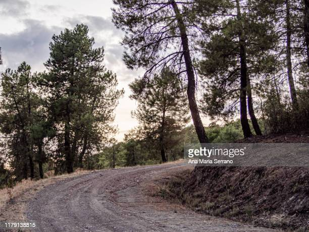 rural road in a pine forest on a cloudy autumn day - pinaceae stock pictures, royalty-free photos & images